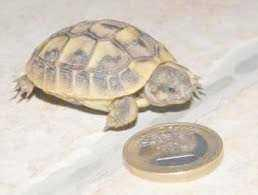Superbes Tortues terrestres Hermann