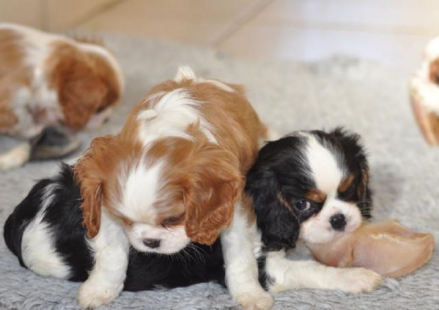 Magnifiques chiots Cavalier King Charles